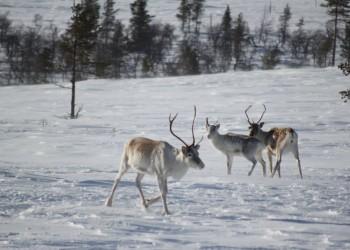 Lapponia (Rovaniemi)